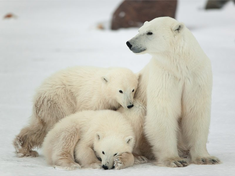 Polar Bear Viewing