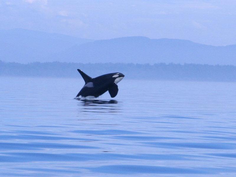 Whale Watching San Juan Island, WA