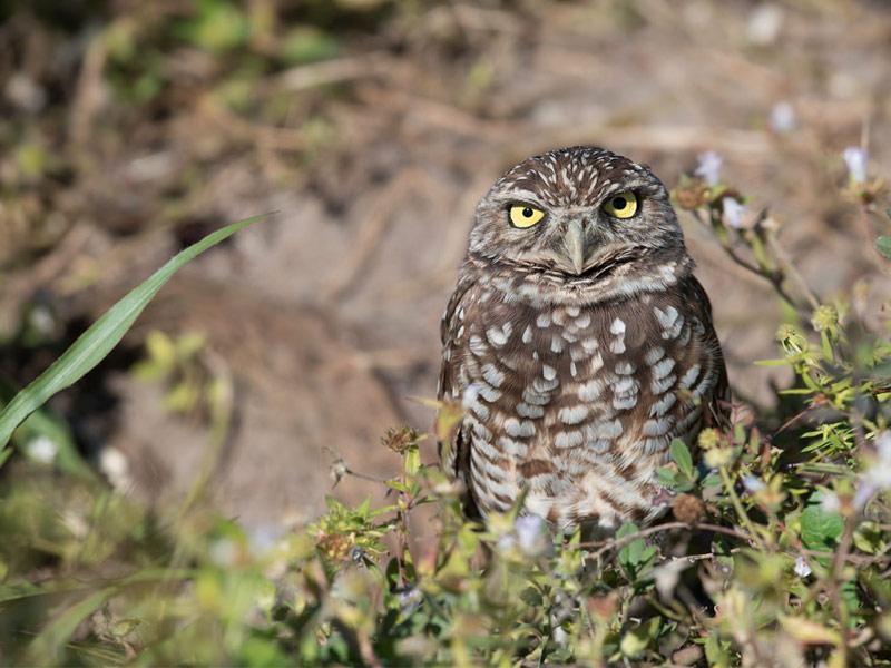 Owl Spotting, Cape Coral