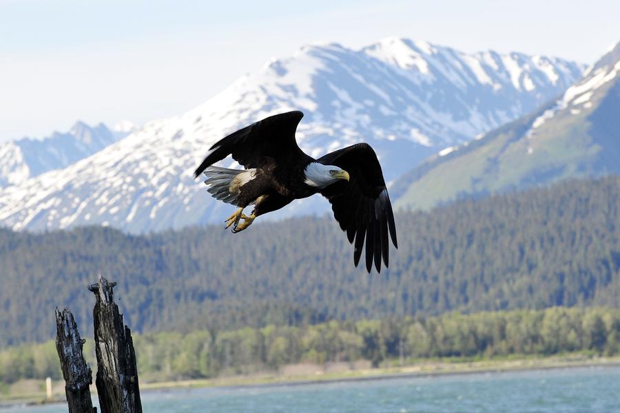 Bald Eagle, Seward