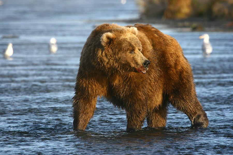 Kodiak brown bear on Kodiak Island