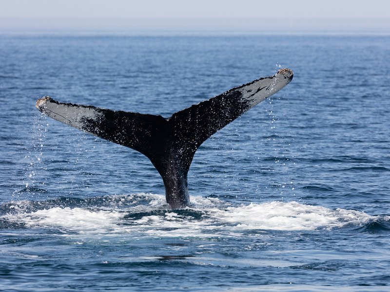 Humpback whale off the coast from Provincetown, Massachusetts