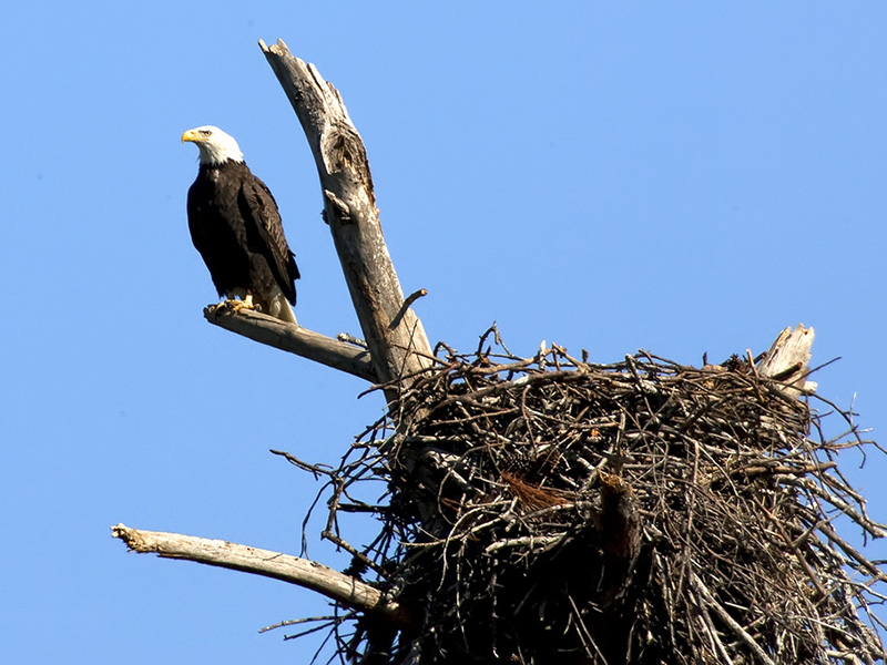 Bald Eagle at Noxubee National Wildlife Refuge