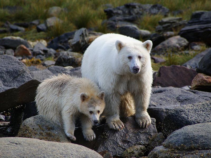 Kermode bears, Great Bear Rainforest, British Columbia