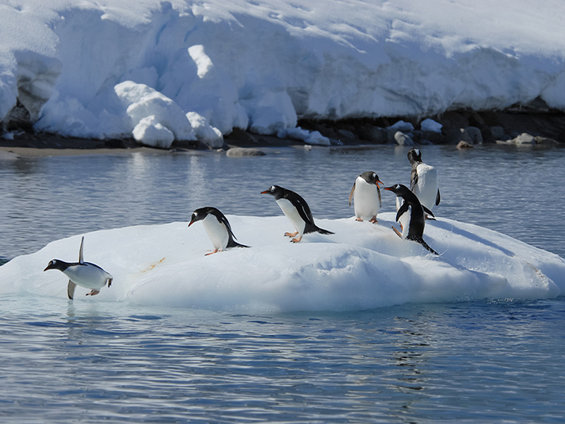 Gentoo penguins, onn an iceberg in Antarctica