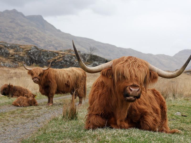 Highland cows, Knoydart Peninsula, Scotland