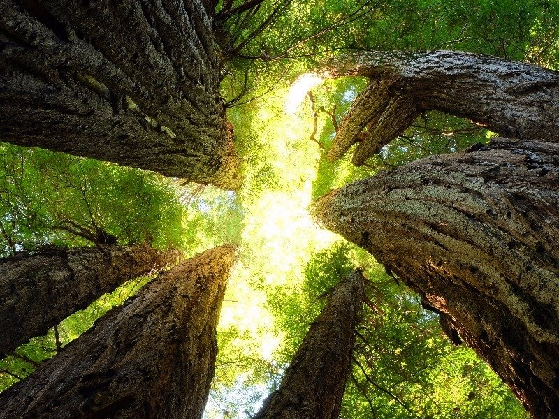 Gazing Up at the trees in Redwood National and State Parks