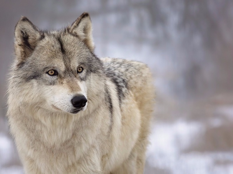 Wolf in Northern Minnesota