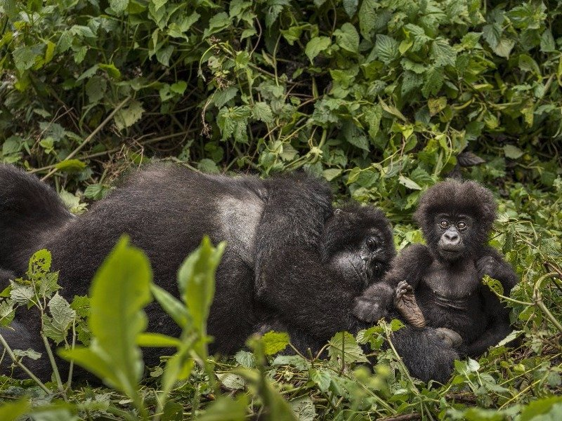 Gorillas in Africa