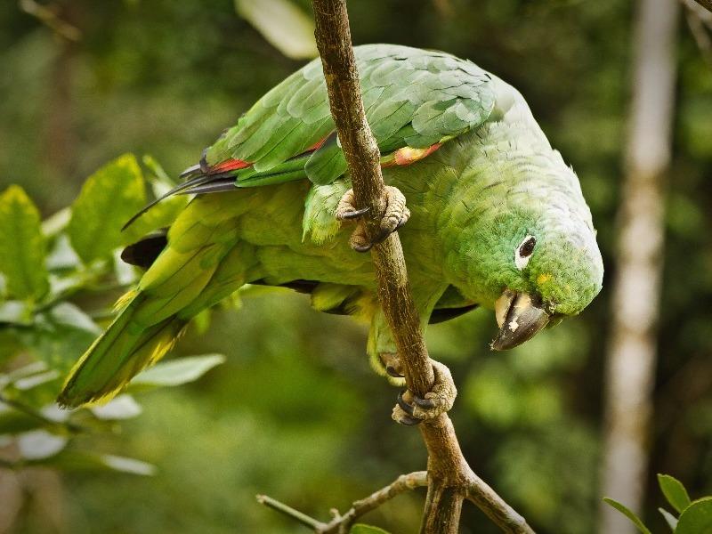 Green parrot, Yasuni National Park, Orellana, Ecuador