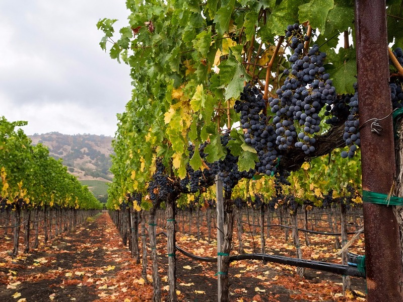 Vines in Napa Valley