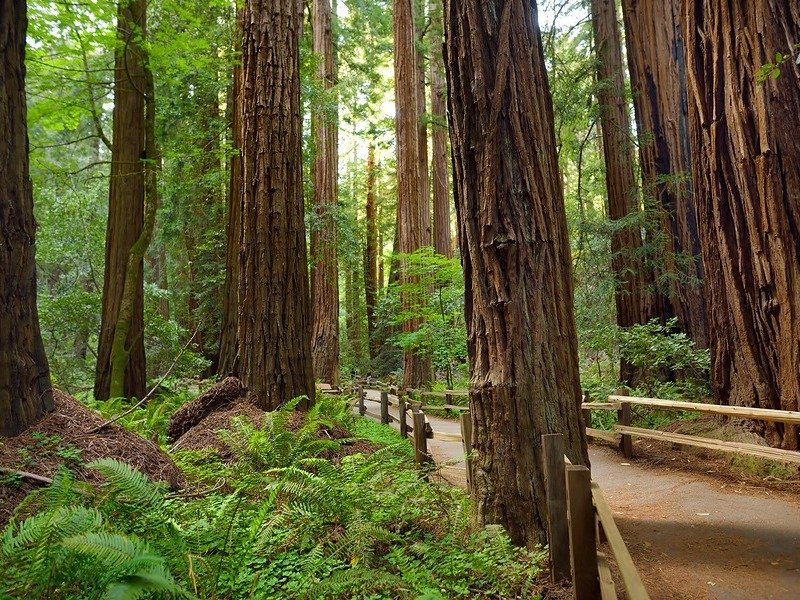 Hiking trails through giant redwoods in Muir forest