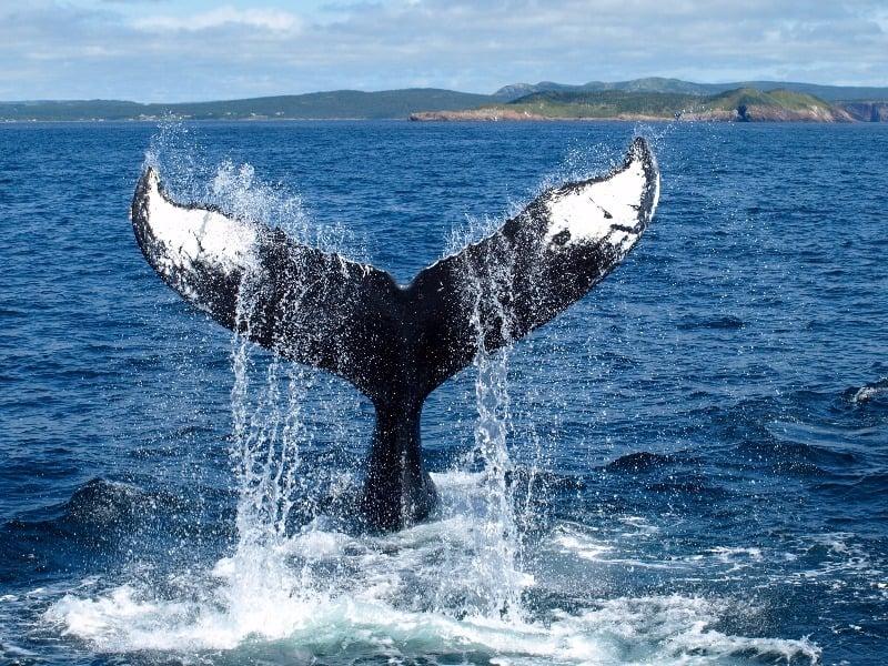 Humpback dorsal fin off Newfoundland coast