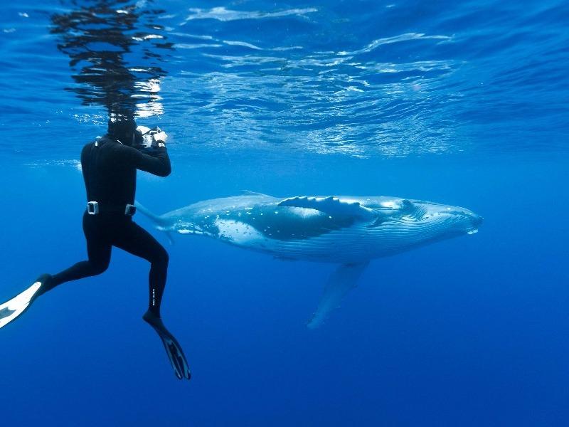 diving with humpbacks, Tonga