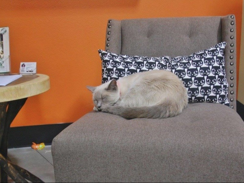 A cat curls up in the playroom at Orlando Cat Cafe.