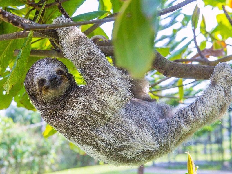 Sloth in the Amazon