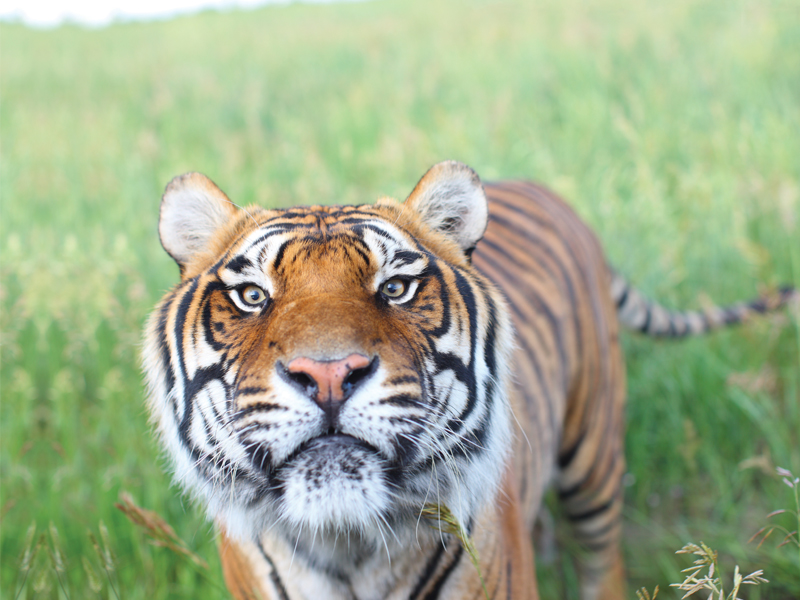 A rescued tiger from New Orleans