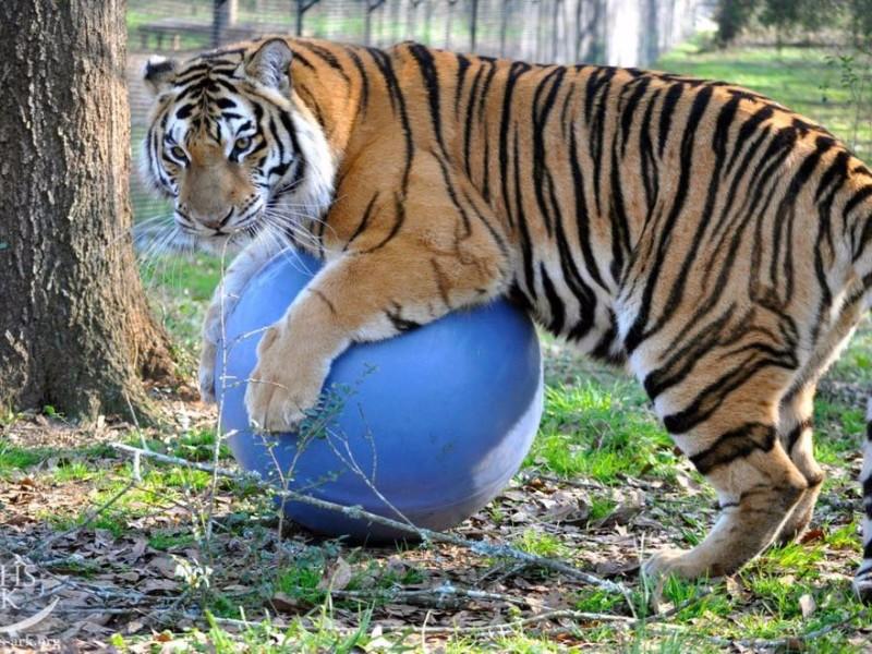 Tiger at Noah's Ark