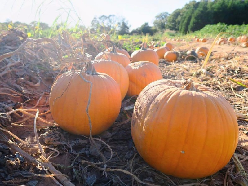 10 Pumpkin Patches To Visit In Georgia This Fall 2021 Guide Trips To Discover