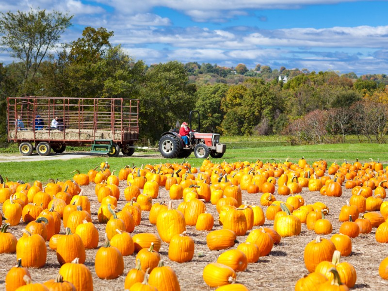 Pick your own pumpkins at a NC pumpkin patch.