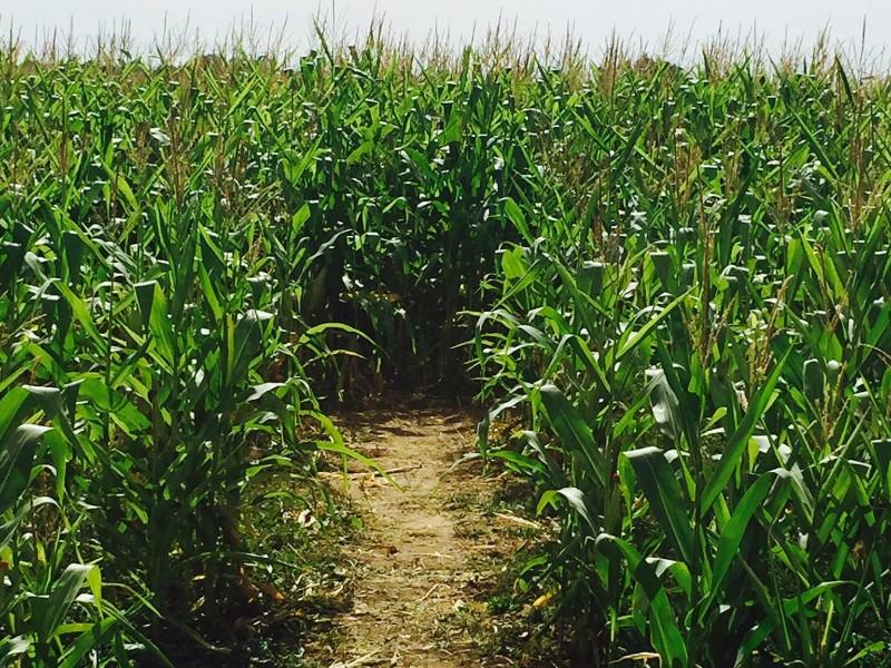 Cottonwood Farms Corn Maze