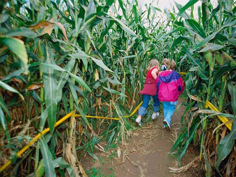 corn maze at Rock Creek Farm