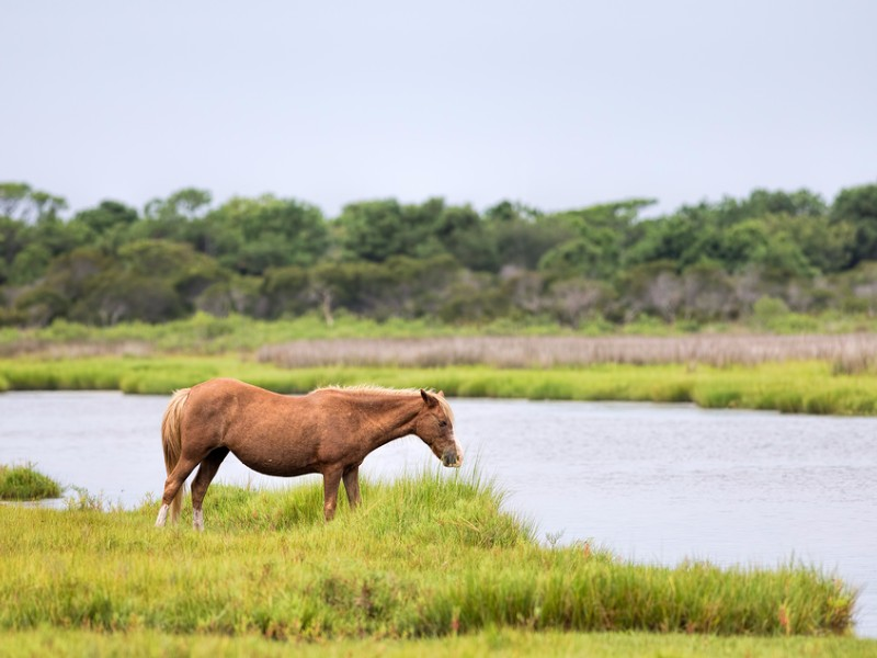 Four groups of wild ponies still roam the Outer Banks