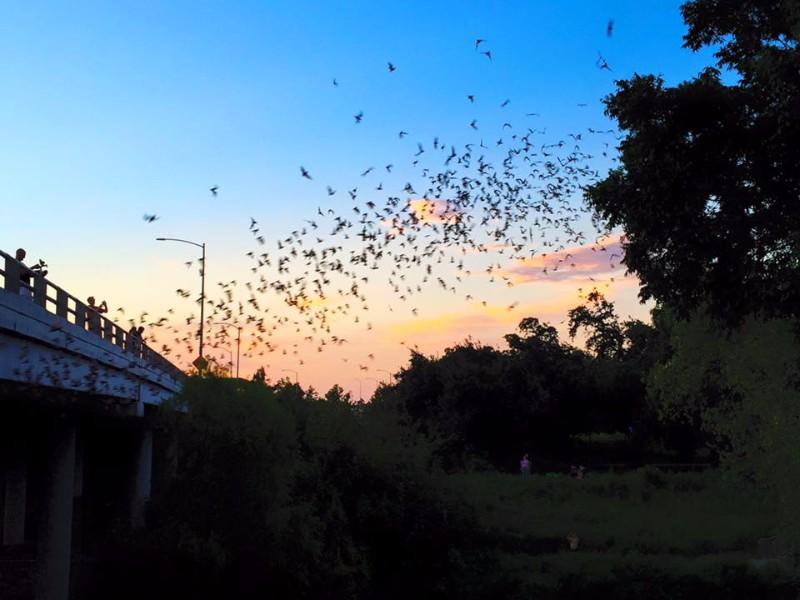 Bat Colony at the Waugh Drive Bridge