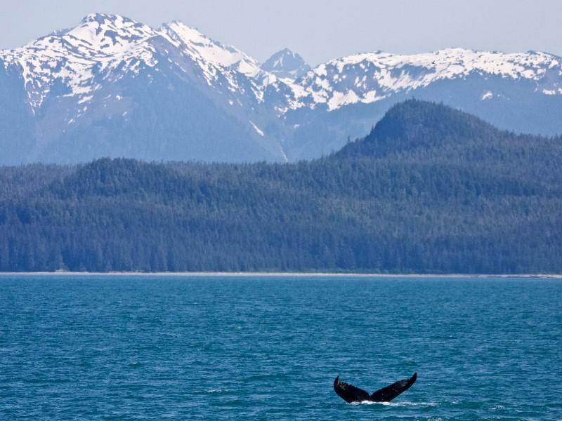 Humpback, Glacier Bay, Alaska