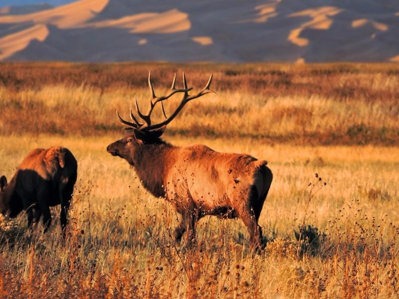 Elk at Great Sand Dunes National Park and Preserve