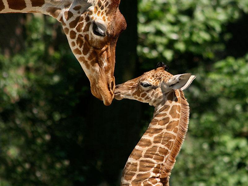 Mother and baby giraffe at Artis Royal Zoo