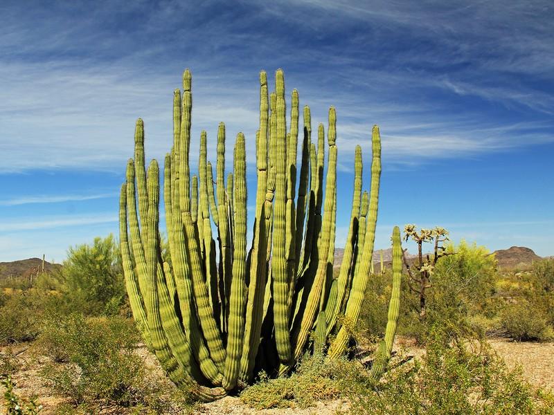 Large Organ Pipe cactus at Organ Pipe Cactus National Monument