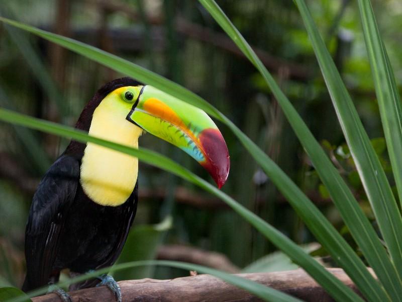 Toucan, Belize