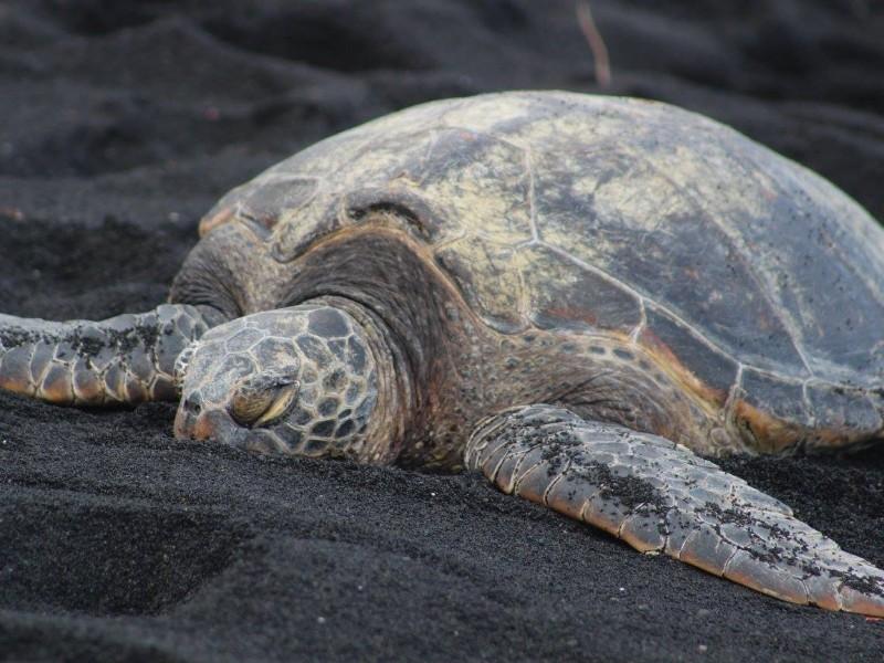 sea turtle on Polihale black sand beach, Hawaii