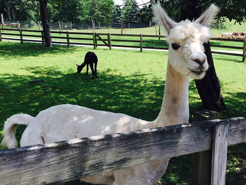 Apple Hill Farm Alpaca