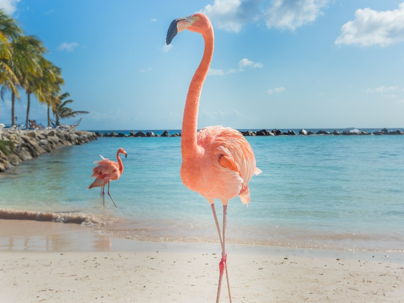 flamingos on the beach, Aruba