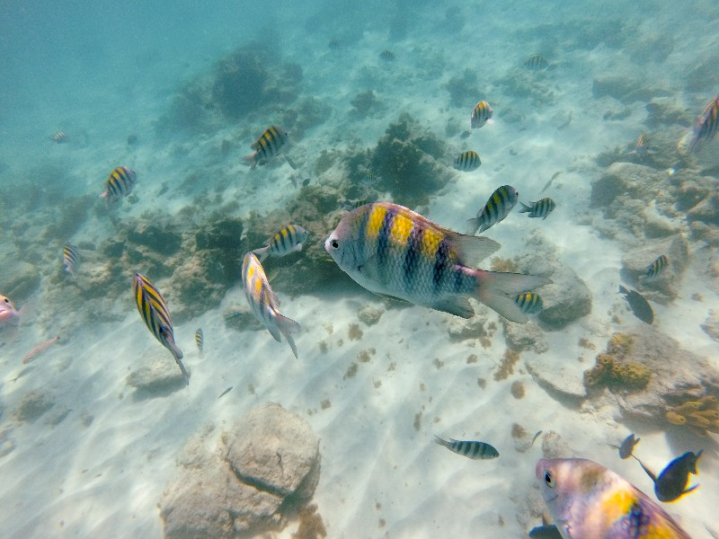 snorkeling with colorful fish, Aruba