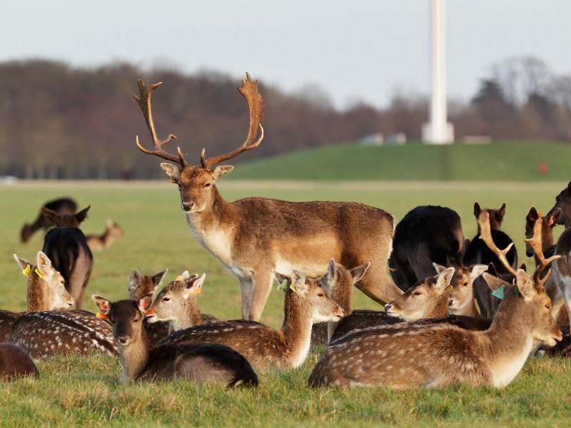 herd of red deer in Phoenix Park, Dublin, Ireland