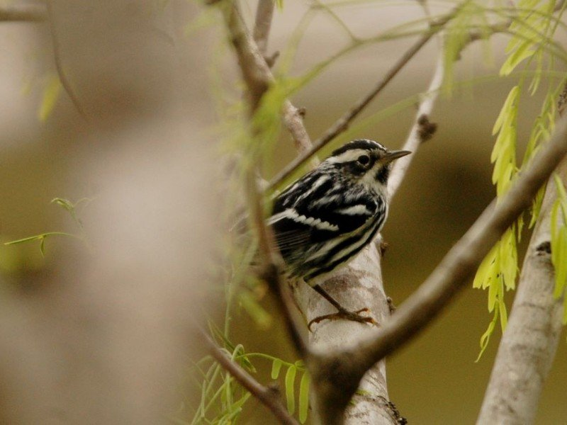 A warbler found at The South Padre Island Birding and Nature Center