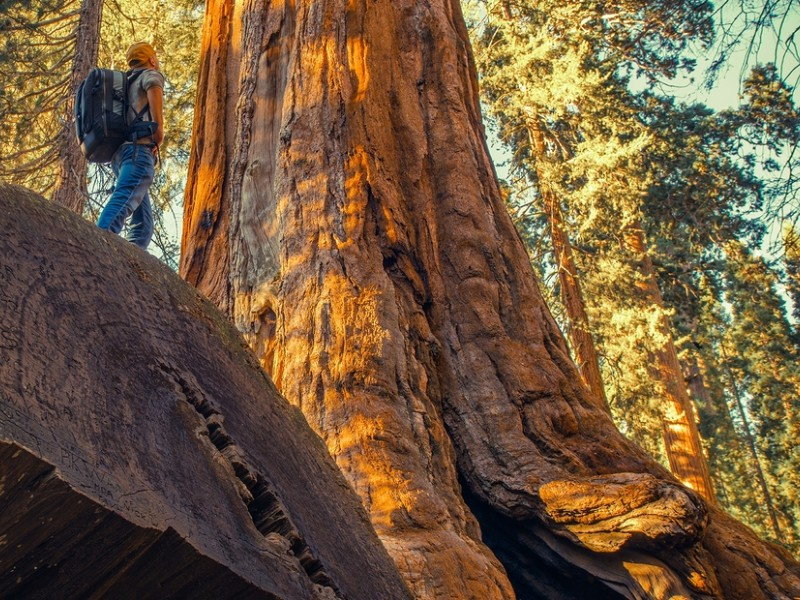 Hiker Exploring Giant Ancient Forest in the Sierra Nevada Mountains, Sequoia National Park