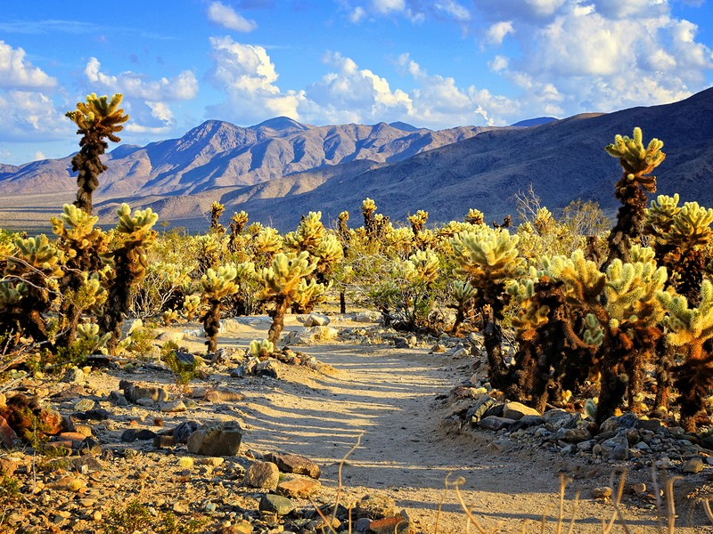 Cholla cactus garden with hiking trail, near sunset, Joshua Tree National Park