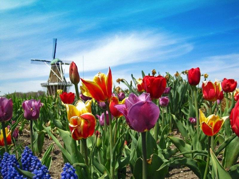Authentic Dutch windmill in Holland Michigan with spring tulips