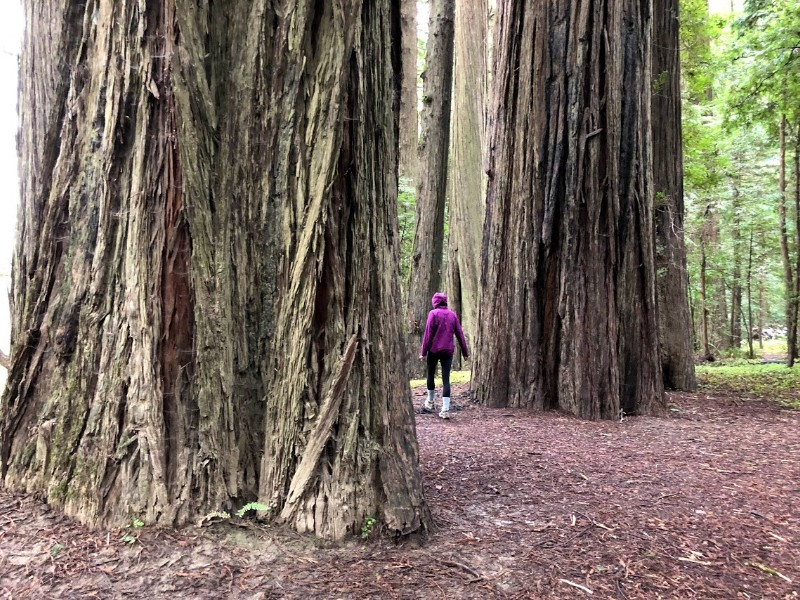 Walking among the huge trees near Arcata