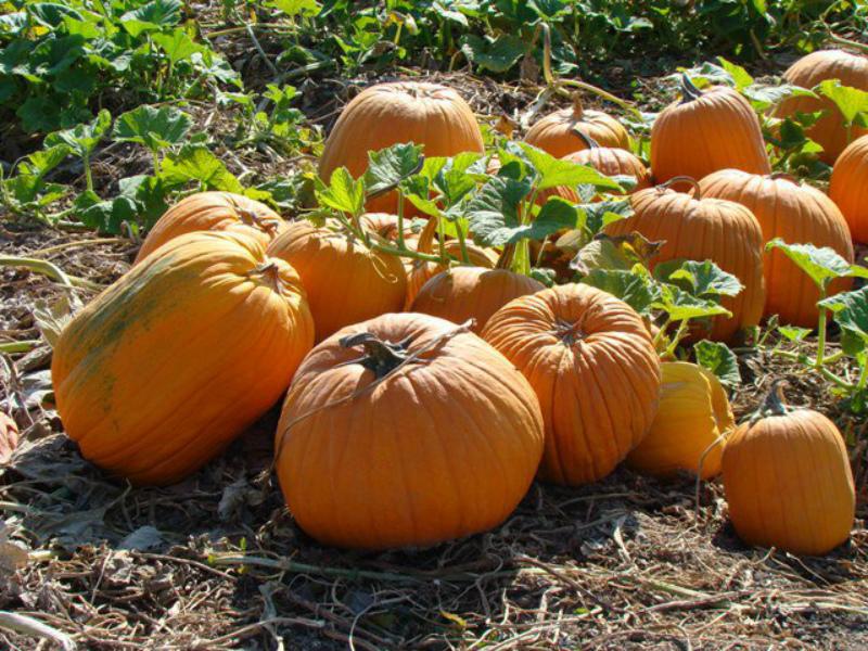 Studt's Pumpkin Patch
