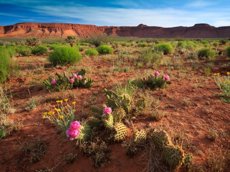 Desert wildflowers bloom in southern Utah, nearby St. George
