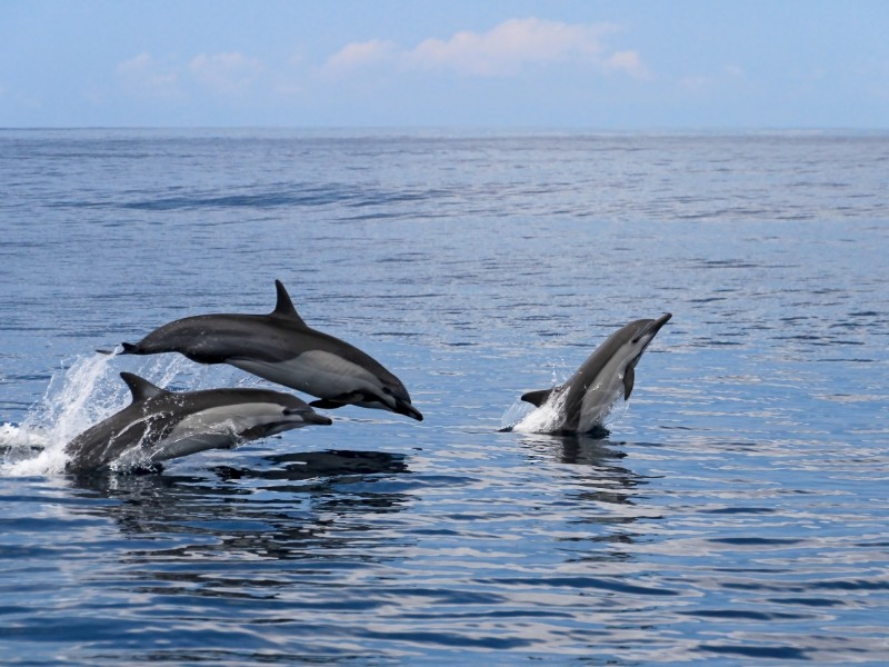 spinner dolphins off the coast, Costa Rica