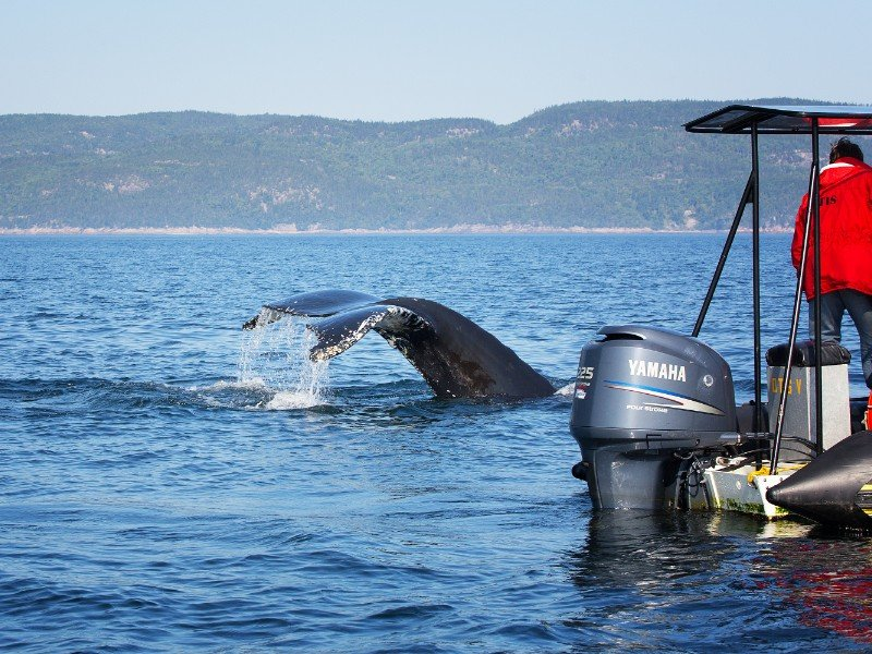 A humpback whale surfaces and dives near a whale watching boat in Toudassac, Quebec