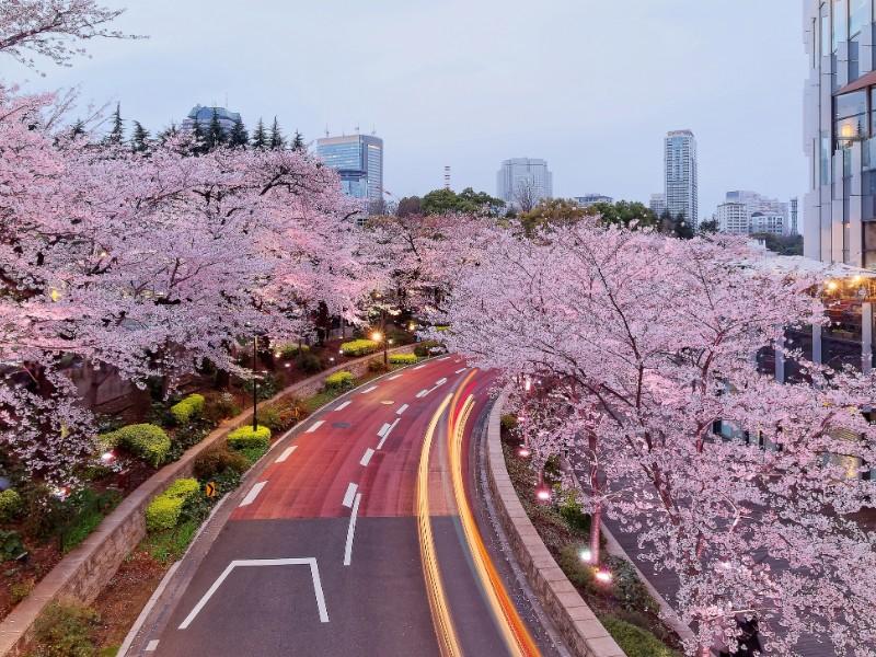 Romantic night scenery of illuminated cherry blossom trees Sakura namiki in Tokyo Midtown, Roppongi
