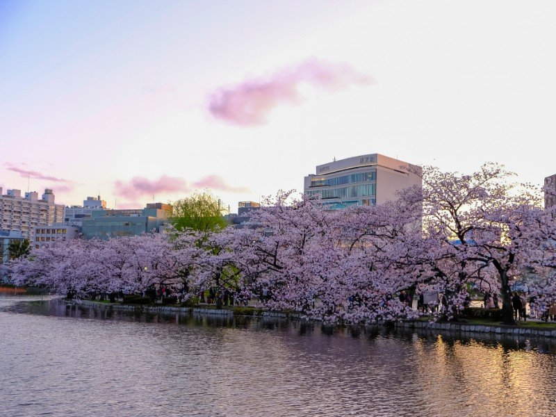 Ueno Park and cherry blossom season