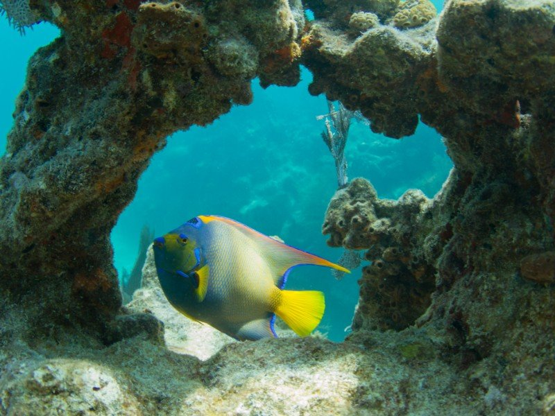 Queen Angelfish through Coral Arch on Looe Key